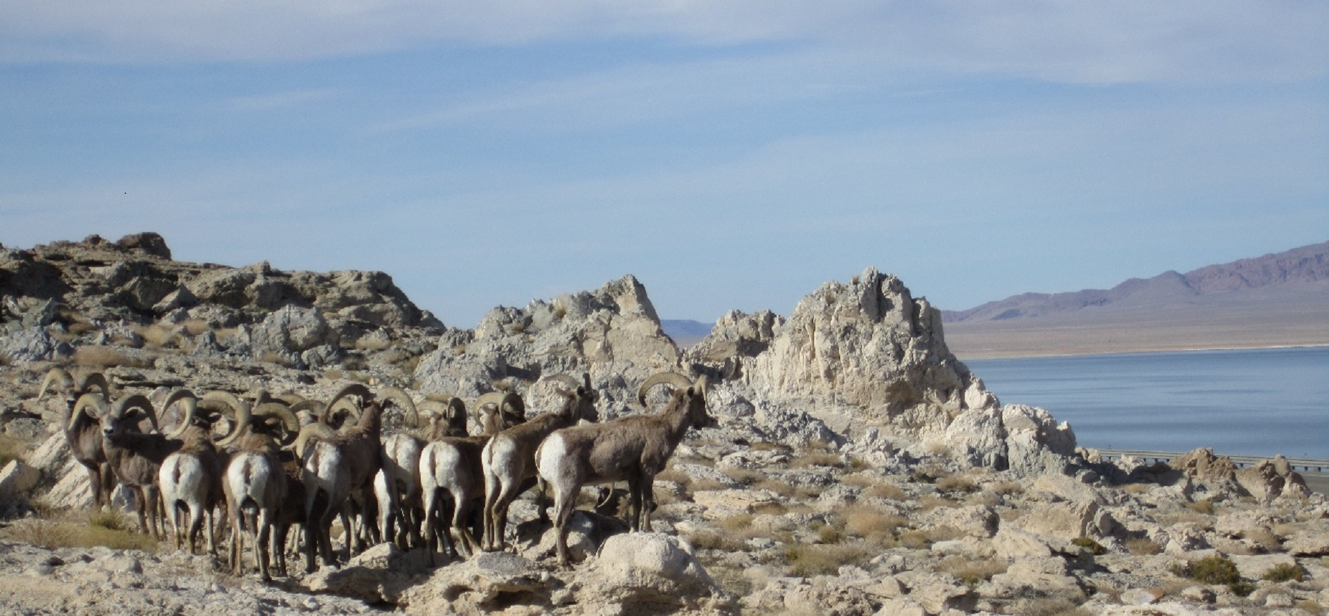 1 Big horn sheep