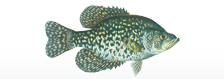 fish blackcrappie
