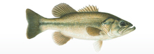 fish largemouthbass
