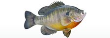 fish pumpkinseed