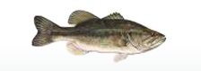 fish smallmouthbass