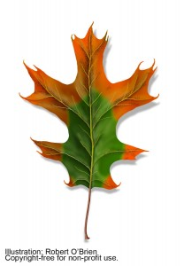 Red-Oak-Wilt-Leaf-Details1-208x300